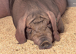Meishan pig: Click here for photo caption.
