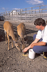 Photo: A couple of white-tailed deer from the National Animal Disease Center research herd feed from the hand of Ray Waters. Link to photo information