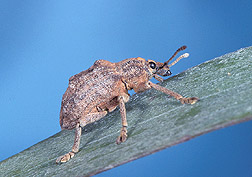 Melaleuca leaf weevil: Click here for full photo caption.
