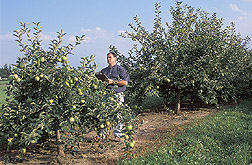 The director of the apple rootstock breeding project in Geneva, New York, evaluates trees developed from different rootstocks: Click here for full photo caption.