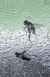 Stable flies caught on an Alsynite sticky trap: Click here for photo caption.