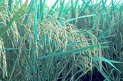 ARS-developed rice variety, called Lemont: Click here for full photo caption.
