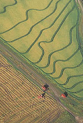 Rice being harvested in a field: Click here for full photo caption.