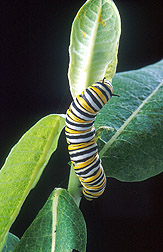 A large monarch caterpillar feeds on a common milkweed plant: Click here for full photo caption.