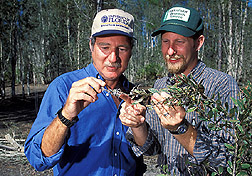 Two entomologists study colonies of melaleuca psyllid: Click here for full photo caption.