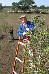 Research leader climbs up to inspect a melaleuca tree while entomologist checks another tree: Click here for full photo caption.