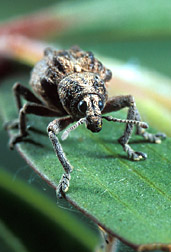 A melaleuca leaf weevil: Click here for full photo caption.