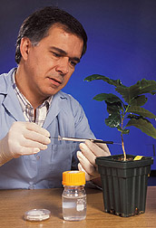 Postdoctoral scientist injects stem of a coffee seedling: Click here for full photo caption.