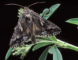 An adult moth of the alfalfa looper on an alfalfa plant: Click here for photo caption.