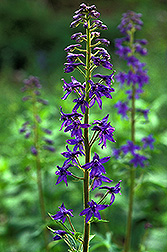 Photo: Larkspur. Link to photo information