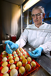 Veterinary medical officer inoculates embryonated chicken eggs: Click here for full photo caption.