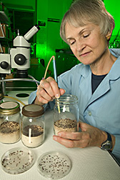 Technician uses a suction probe to remove flour beetles from a rearing jar containing flour: Click here for full photo caption.
