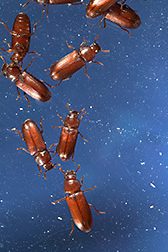 Red flour beetles that have white or clear eyes rather than the typical black color: Click here for full photo caption.