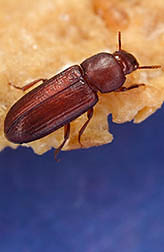 Red flour beetle on a cereal flake: Click here for full photo caption.
