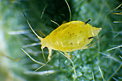 Close-up of a soybean aphid: Click here for photo caption.