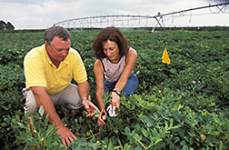 Research leader and plant physiologist examine the installation of a stem flow collar on a peanut stem in an irrigated test plot: Click here for full photo caption.