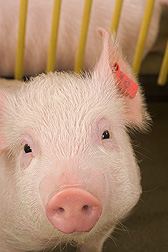 2-month old pig: Click here for photo caption.