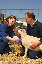 Jacky Carnahan and Michael Heaton collect a blood sample from a lamb for DNA analysis. Link to photo information
