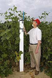 Geneticist measures one of his large biomass soybean plants selected for fiber and ethanol production: Click here for full photo caption.