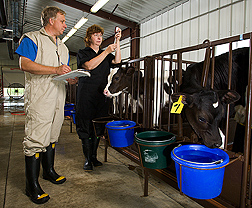 Photo: Two scientists vaccinate cattle in pens.