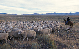 A cowboy on horseback shepherds a flock of sheep across rangeland at the Dubois station. Link to photo information