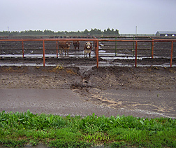 Runoff from a feedlot pen during a rain. The water is heavily laden with sediment from the pen surface: Click here for photo caption.