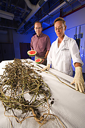 Scott Adkins and Carrie Vanderspool dissect a diseased watermelon plant. Link to photo information
