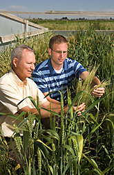 Plant pathologist, left, and molecular biologist examine wheat plants from the National Small Grains Collection in a stem rust screening plot at Aberdeen, Idaho: Click here for full photo caption.