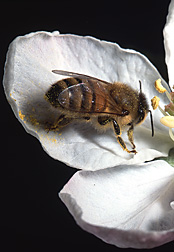 Honey bee on an apple blossom: Click here for photo caption.