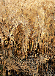 ARS scientists are evaluating U.S. wheat lines for rust resistance in hopes of giving U.S. wheat and barley breeders a headstart towards protecting new varieties from Ug99, a deadly wheat stem rust in eastern Africa: Click here for photo caption.