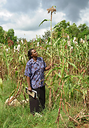Kenyan lines of sorghum displaying improved growth and yield on field plots with acidic soils outside Moi University in Kenya. Click here for photo caption.