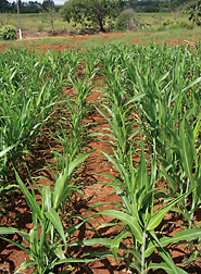Sorghum growing on an aluminum-toxic soil at the EMBRAPA Maize and Sorghum research laboratory in Sete Lagoas, Brazil. Though the two middle rows are sensitive to aluminum, the aluminum-tolerant row to the right shows 50 percent more shoot biomass. Click here for photo caption.