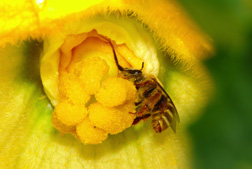 With tongue extended, a female Peponapis bee sips nectar from a yellow squash flower: Click here for photo caption.