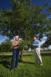 Retired Extension agent (left) and soil scientist examine trees within the organic orchard at the Sonny and Noreen Gebert pecan orchard for potential crop yield and possible diseases and insects: Click here for full photo caption.