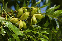 Midseason organic pecan clusters indicating disease-free leaves and nuts and little insect damage: Click here for photo caption.