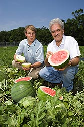 Plant pathologist (left) and plant geneticist examine watermelon for fruit quality: Click here for full photo caption.