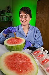 Plant geneticist removes watermelon flesh for RNA extraction: Click here for full photo caption.