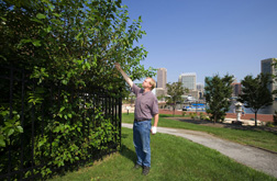 Plant physiologist examines an invasive plant community growing near Baltimore's Inner Harbor: Click here for full photo caption.
