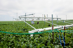ARS scientists in a plot of soybeans treated with elevated carbon dioxide (CO2) at the SoyFACE Global Change Research Facility at the University of Illinois Research Farm in Urbana: Click here for full photo caption.
