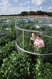 Plant physiologists collect soybean leaf samples in open-top field chambers for analysis of the effects of elevated carbon dioxide and ozone on plant chemistry: Click here for full photo caption.