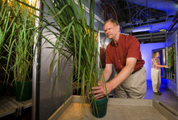 At the ARS Crop Systems and Global Change Laboratory, Beltsville, Maryland, plant physiologists examine the response of different rice cultivars to changes in carbon dioxide and temperature: Click here for full photo caption.
