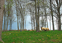 Photo: Sheep grazing in a pasture of thinned forest. Link to photo information