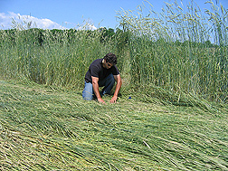 In a field of rolled cereal rye, an ecologist evaluates ground coverage of the rye mulch and weed emergence through it: Click here for full photo caption.