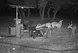 Infrared image of a doe in position to be collared at night: Click here for photo caption.