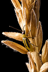 Western corn rootworm, the most economically damaging pest of corn in North America: Click here for full photo caption.