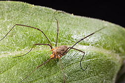 A harvestman (Phalangium opilio), one of the more important predators of corn rootworm larvae: Click here for photo caption.