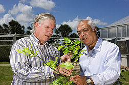 "Entomologist (left) and plant physiologist observe Asian citrus psyllid infestation on new growth, called ""flush,"" on a Kaffir lime (also known as Kieffer lime): Click here for full photo caption."