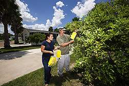 Entomologist and technician examine backyard traps baited with attractants for Asian citrus psyllid: Click here for full photo caption.