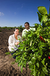 Graduate student and entomologist sample shoots from young citrus trees for evaluation of insecticide levels in stem phloem tissue as part of studies on controlling Asian citrus psyllid, the pest known to spread citrus greening disease: Click here for full photo caption.