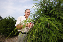 Woody landscape plant germplasm curator harvests cuttings of Chinese hemlock, Tsuga chinensis, grown from seed collected in China: Click here for full photo caption.